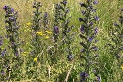 Viper's Bugloss: C Tickner