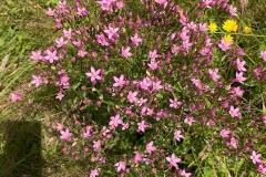 Common Centuray Centaurium erythraea : C Tickner