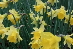 Sian Parry:  Daffodils at Luckbarrow