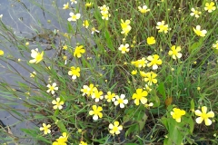 Lesser spearwort :Ranunculus flammula.Common in boggy moorland areas.. A Campbell