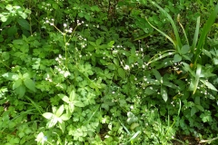Sanicle in abundance in Great Wood. Martina Slater