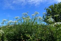Water Dropwort flowers: Martina Slater