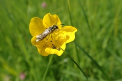 Buttercup with pollinating insect: Martina Slater
