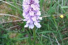 Heath spotted orchid: Dacrylorhiza maculata ssp ericetorumA Campbell