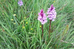 Heath spotted orchids: Dacrylorhiza maculata ssp ericetorum A Campbell